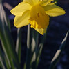 Daffodil, Narcissus sp.