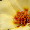 Mose Rose, Portulaca sp.