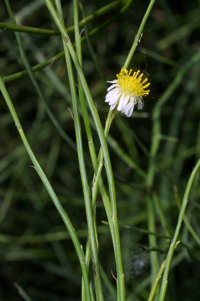 Mexican Devil-Weed, Aster spinosus
