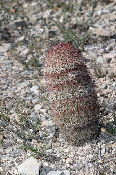 Texas rainbow cactus, Echinocereus pectinatus