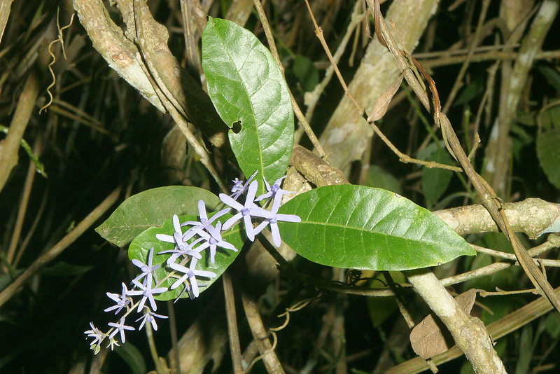 Purple wreath, Petrea volubilis