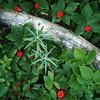 Bunch Berry, Cornus unalaschkensis
