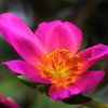 Purslane, Portulaca sp.