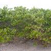 White Mangrove, Laguncularia racemosa