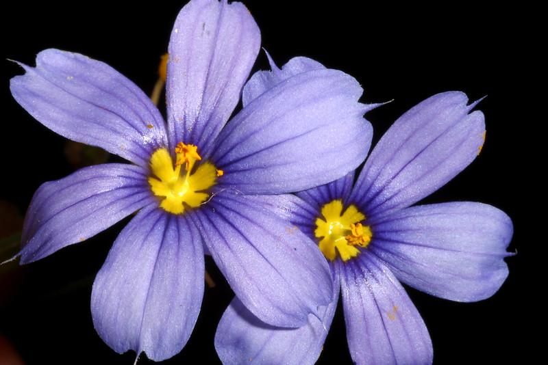 Blue-eyed Grass, Sisyrinchium ensigerum