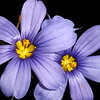 Blue-eyed Grass, Sisyrinchium ensigerum