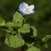 Persian Speedwell, Veronica persica
