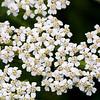 White Yarrow, Achillea millefolium