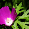 Wine Cup, Poppy Mallow, Callirhoe digitata