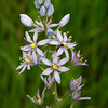 Wild Hyacinth, Camassia scillloides