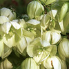 Yucca Flowers, Yucca sp.