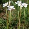 Rain Lily, Cooperia drummondii