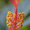 Hibiscus, Hibiscus sp.