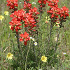 Texas Paintbrush, Castilleja indivisa