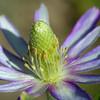 Anemone, Anemone sp.