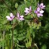 Pin Clover, Erodium cicutarium