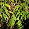 Soapberry, Sapindus drummondii