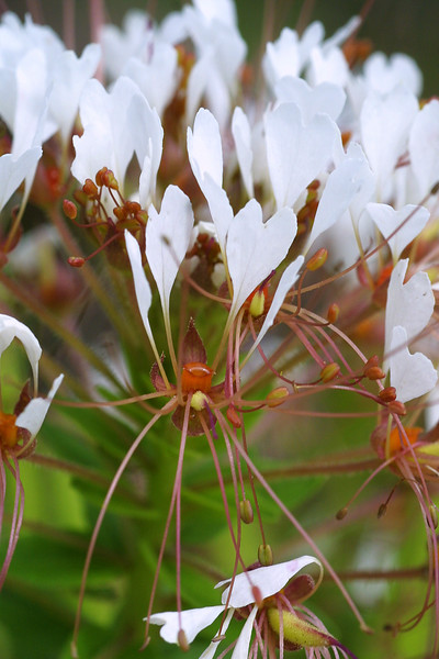 Clammyweed, Polanisia dodecandra