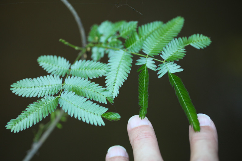 Semsitive Plant. Mimoa pudica