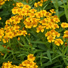 Mexican Mint Marigold, Tagetes lucida