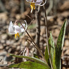 Trout Lily, White Dog's Tooth Violet, Erythronium albidum