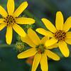 Engelmann's daisy, .Engelmannia peristenia