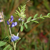 Vetch, Vicia sp.