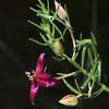 Ratany, Krameria lanceolata
