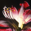 Amaryllis, Hippeastrum sp.