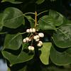Chinese Tallow, Sapium sebiferum
