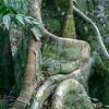 Ficus tree, Ficus sp.