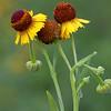 Sneeze weed, Helenium quadridentatum
