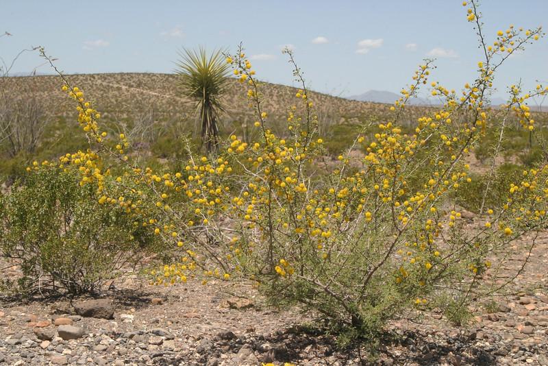 White thron acacia, Acacia constrica