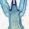 Coleus, stem tip l.s. 40X, Solenostemon scutellarioides