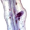 Lateral root origin 100X
