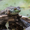 Northern green frog, Rana clamitans melanota