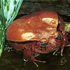 Tomato frog, Dyscophus guineti