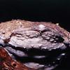 Surinam toad, Pipa pipa
