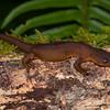 Rough-skinned newt, Taricha granulosa