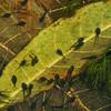 Cane toad, Bufo marinus, tadpoles