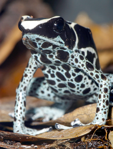 Poison arrow dart frog, Dendrobates tinctorius