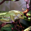Waxy tree frog, Phyllomedusa sauvagei