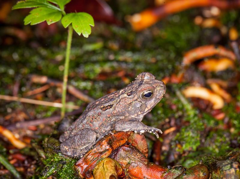 Sanderson's rainfrog, Eleutherodactylus sandersoni