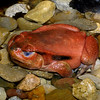 Madagasgar tomato frog, Dischophus antongilli