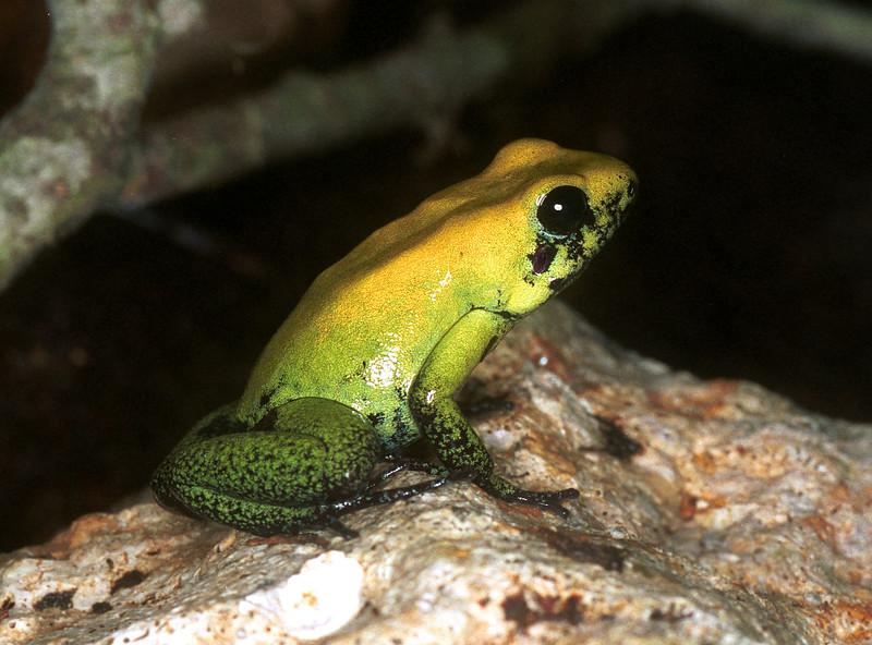Poison dart frog, Phyllobates bicolor