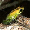 Poison dart frog, Phyllobates bicolor