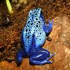 Poison dart frog, Dendrobates azureus
