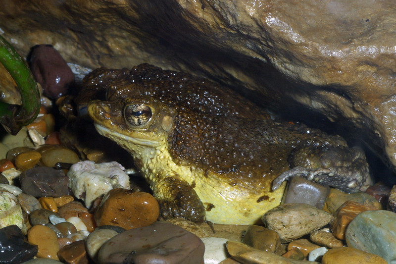 Puerto Rican crested toad, Peltophryne lemus