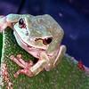 Green tree frog, Hyla cinerea