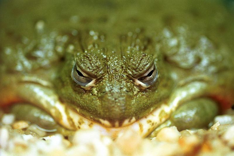 African bullfrog, Pyxicephalus adspersa